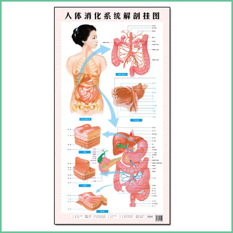 人体大胆露�������i�_人体消化系统解剖挂图 尺寸为1000*530mm 保证正版